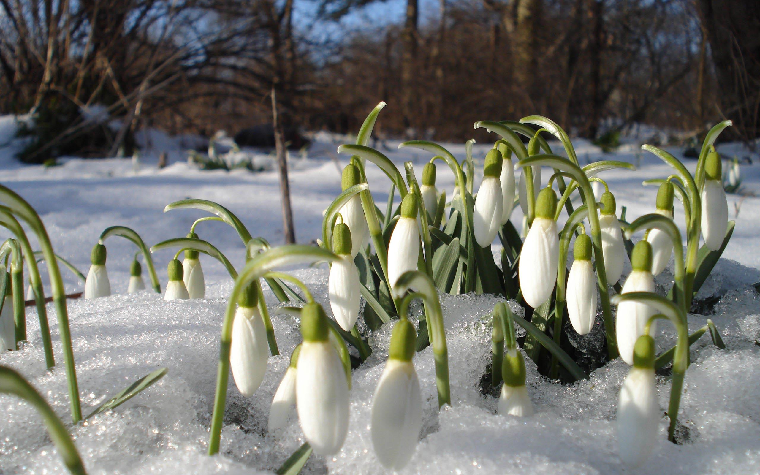 Картинки весны с подснежниками, днем